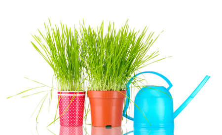 Green grass in two flowerpot on blue background Stock Photo