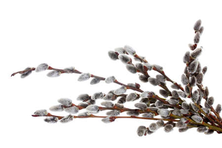 pussy-willow twigs isolated on white photo