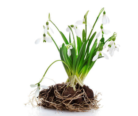 snowdrops with roots and soil isolated on white Stock Photo - 13355831