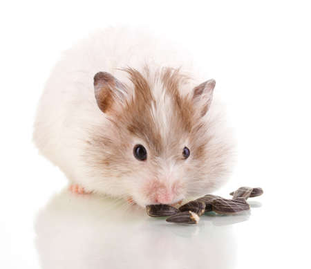 Cute hamster eating sunflower seeds isolated white Stock Photo - 13355847