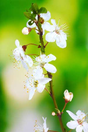 schöne Kirschblüte auf grünem Hintergrund