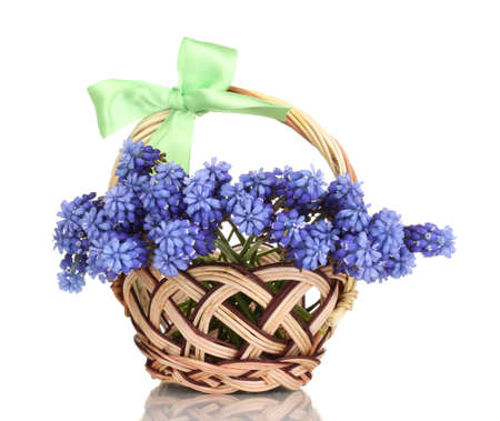 Muscari - hyacinth in basket isolated on white photo