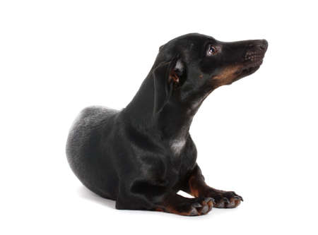 black little dachshund dog isolated on white Stock Photo - 13369999