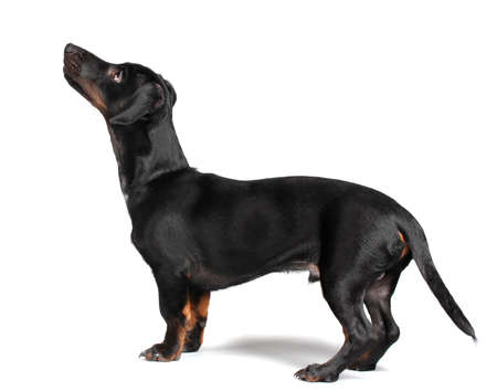 black little dachshund dog on gray background Stock Photo