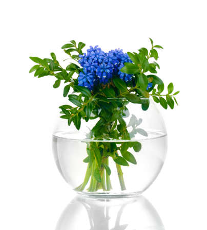 Muscari - hyacinth in vase isolated on white Stock Photo - 13370054