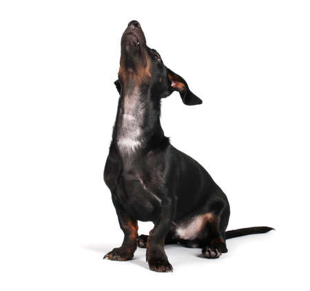 black little dachshund dog on gray background Stock Photo - 13437574