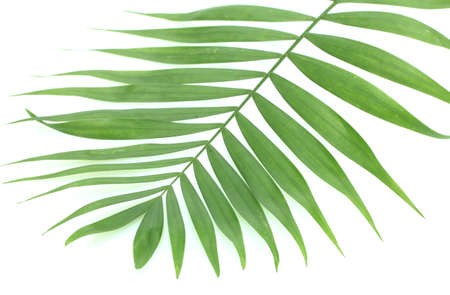 rabbet: beautiful green palm leaf isolated on white