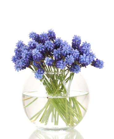 Muscari - hyacinth in vase isolated on white Stock Photo - 13438398