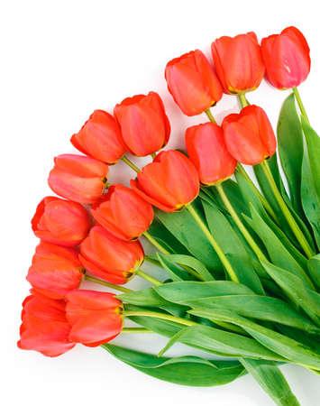 Beautiful tulips isolated on white photo