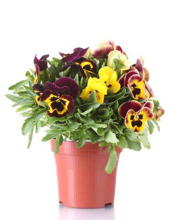 violas: beautiful violet pansies in flowerpot isolated on a white