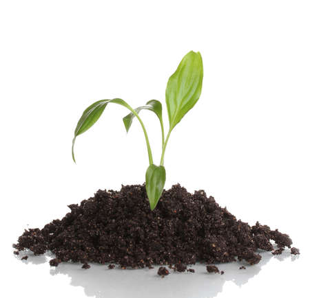 Young plant in ground isolated on white Stock Photo - 13438271