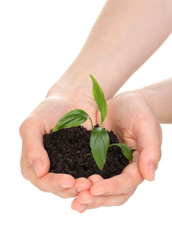 Young plant in hands isolated on white photo