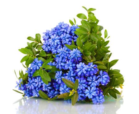 hyacinth: Muscari - hyacinth isolated on white