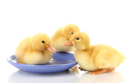 Three duckling drinking isolated on white photo