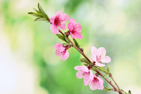 beautiful pink peach blossom on green background