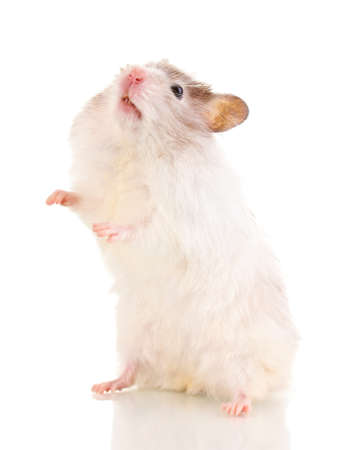 Cute hamster standing isolated white Stock Photo