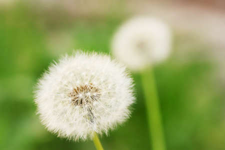 dandelion seed: white dandelions on green background Stock Photo
