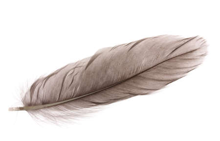 feather background: Single fluffy feather isolated on white Stock Photo