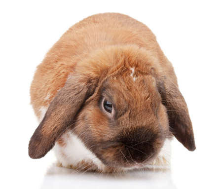 Lop-eared rabbit isolated on white Stock Photo - 13603306