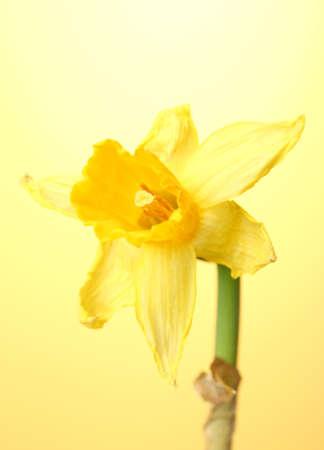 beautiful yellow daffodils on yellow background Stock Photo - 13600871