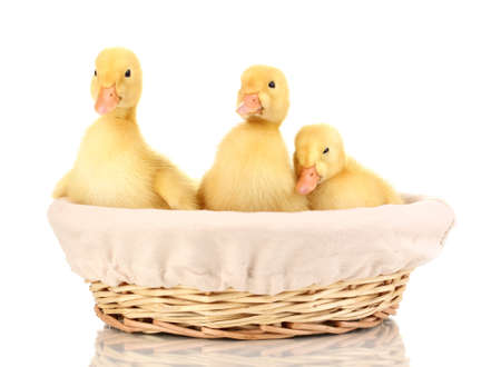 Three duckling in basket isolated on white Stock Photo - 13648080