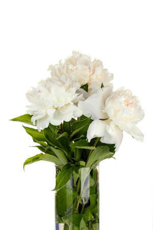 beautiful white peonies in glass vase with bow isolated on white photo