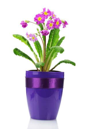 Beautiful purple primrose in a flowerpot isolated on white photo