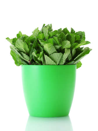 Fresh mint in flowerpot isolated on white photo