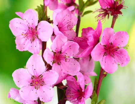 peach tree: beautiful pink peach blossom on green background