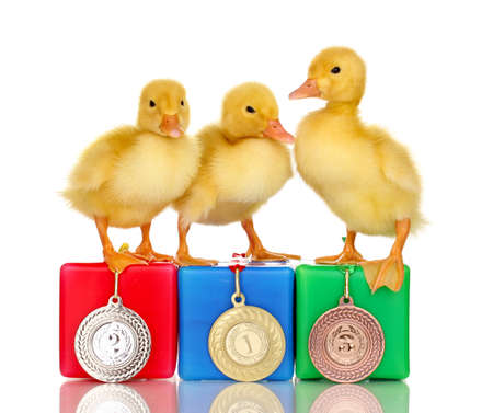 duck feet: Three duckling on championship podium isolated on white Stock Photo