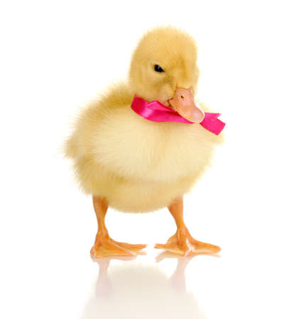 Duckling with ribbon isolated on white photo