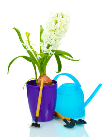 beautiful white hyacinth in purple flowerpot, watering can and garden tools isolated on white photo