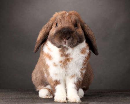 Kaninchen mit Hängeohren auf grauem Hintergrund Standard-Bild