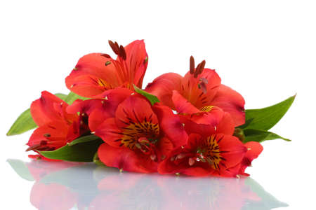 alstroemeria red flowers  isolated on white photo
