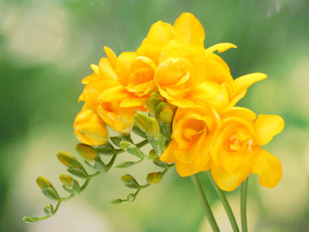 freesia: Beautiful yellow freesias on green background Stock Photo