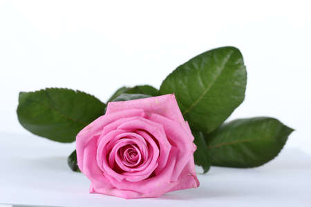 beautiful pink rose isolated on white Stock Photo - 13904670