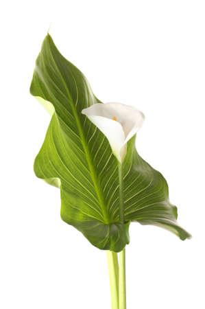 calas blancas: White callas hoja aislado en blanco Foto de archivo