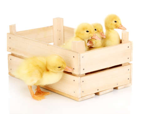 Duckling in crate isolated on white Stock Photo - 13948592