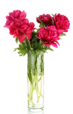 beautiful pink peonies in glass vase with bow isolated on white