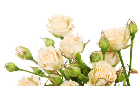 Small roses isolated on white Stock Photo - 14136325