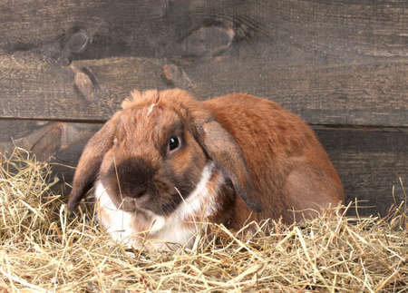 Lop-eared rabbit in a haystack on wooden background Stock Photo - 14135159