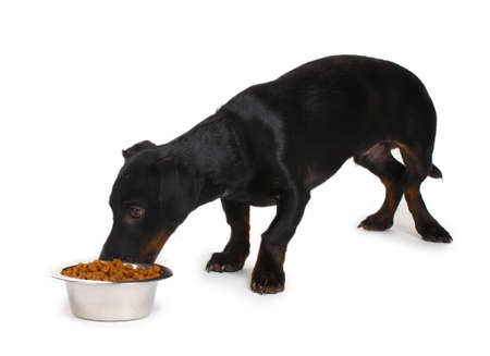black little dachshund dog and food isolated on white Stock Photo - 14134682