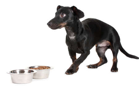 black little dachshund dog and food isolated on white Stock Photo - 14134804