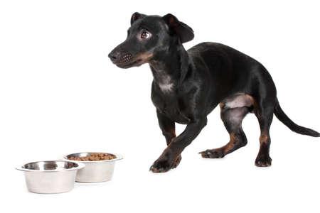 black little dachshund dog and food isolated on white Stock Photo - 14134804
