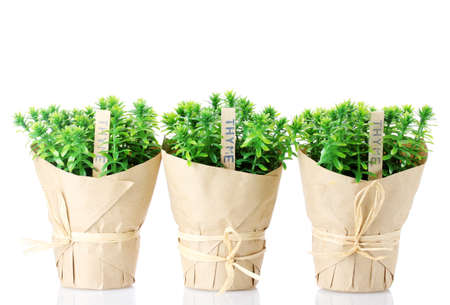 thyme herb plants in pots with beautiful paper decor isolated on white