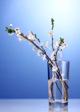 beautiful cherry blossom in vase on blue background