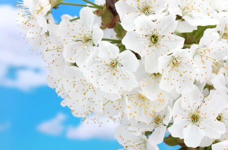 beautiful cherry blossom on blue sky background