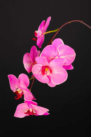 Beautiful blooming orchid isolated on black photo