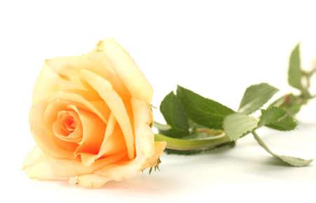 rosas naranjas: hermosa rosa aislado en blanco Foto de archivo