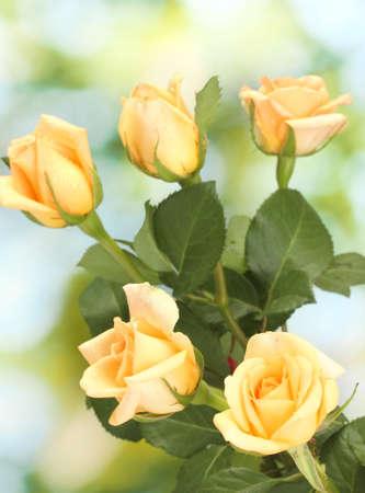 rosas amarillas: hermoso ramo de rosas sobre fondo verde Foto de archivo